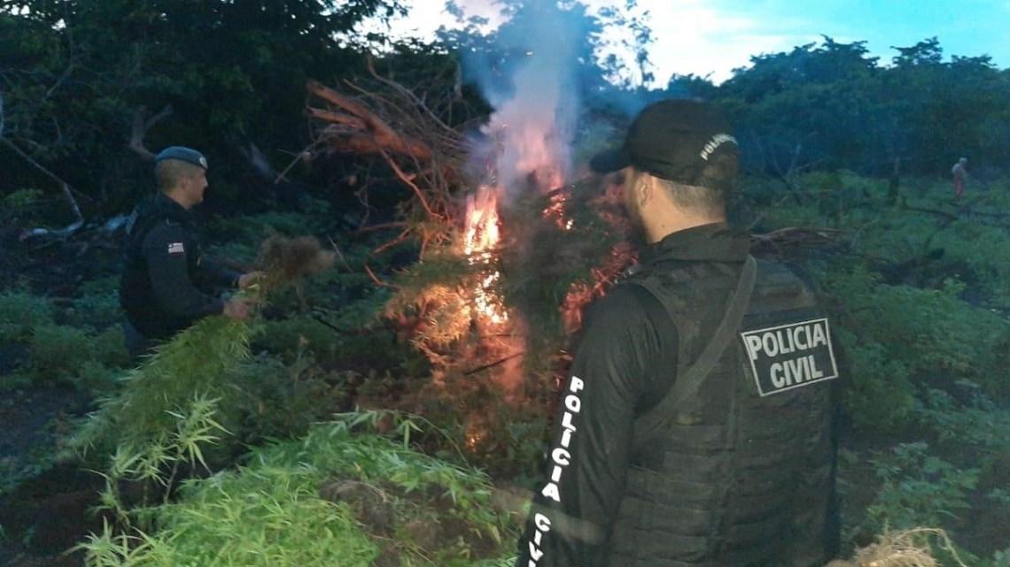 Baixada Maranhense – Polícia descobre plantação com mais de 2 mil pés de maconha na zona rural de Vitória do Mearim
