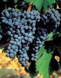 Primeira fotogarfia publicada no artigo Vinho & Tipicidade parte 6: Carignan