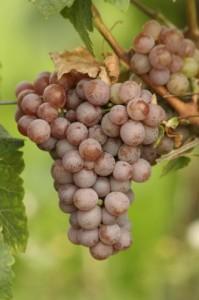 Primeira fotogarfia publicada no artigo Vinho & Tipicidade (17) – a uva Gewürztraminer