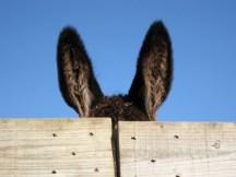 orelhas-de-burro