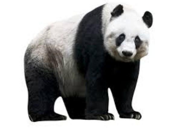 fakta unik tentang panda