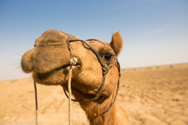 Close up of a camels face in the Thar Desert, Rajasthan, India.
