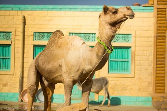 Golden camel standing in the streets of rural village of the Thar desert near Jaisalmer.
