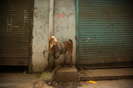 Cute city goat wearing a sweater tied up in an alley in Old Delhi, India.