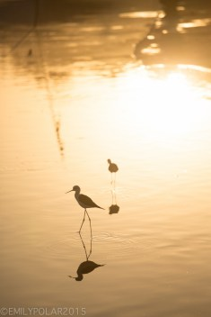 Cute black and white birds stand in the the shallow water of Pushkar lake at sunset in Rajasthan, India.