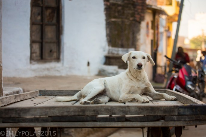 Cute dog sitting on a wooden street cart in Pushkar, India.