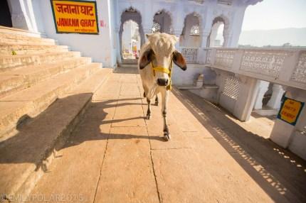 Big white cow walking through Janana Ghat in Pushkar, India.