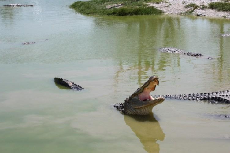 Alligator på Wooten's