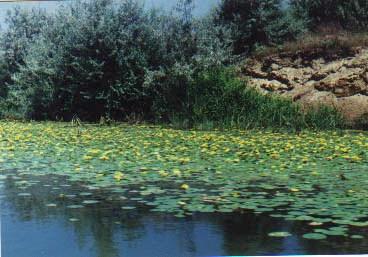 Сохранилась запись, зафиксировавшая редкое по красоте зрелище — в оранжерее Ботанического сада в Кью (Англия) в 1849 г. впервые расцвела виктория: «К моменту раскрытия цветка в оранжерее собралась огромная толпа (...). В 5 часов вечера еще закрытый бутон поднялся над водой, его чашелистики раскрылись и появились снежно-белые лепестки удивительной красоты. Присутствующие стояли, пораженные (...), и не знали, чему удивляться, величине ли и красоте форм, ничем не описуемому благоуханию в теплице (...) или, наконец, беспримерной скорости раскрытия цветка». Конечно, кубышка желтая привлекает меньше внимания, но она не менее прекрасна.