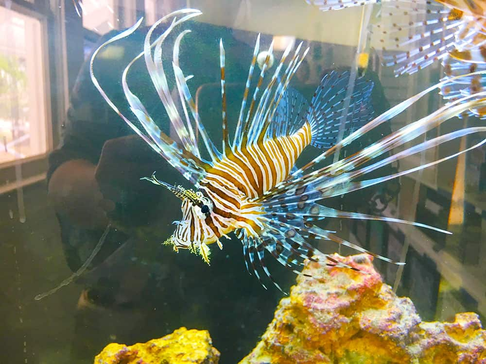 Lion fish in tank