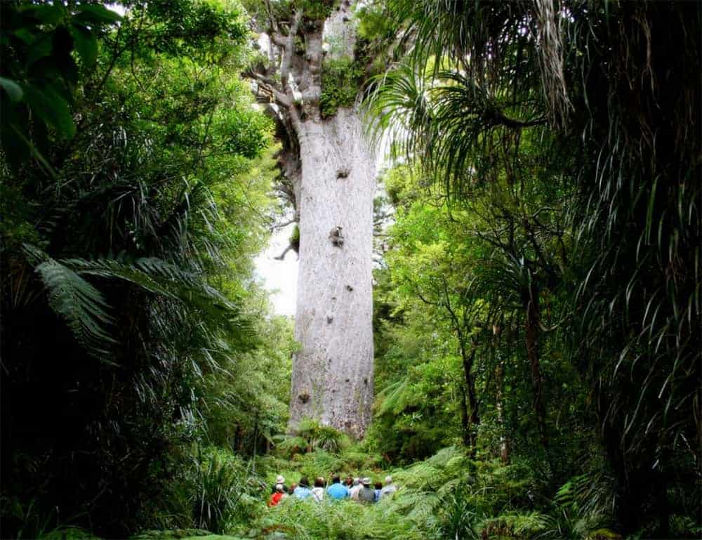 Mighty Tane Mahuta, king of the Waipoua Forest