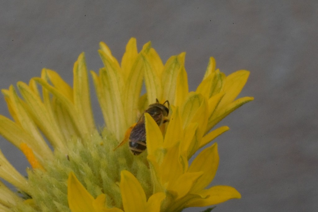 honey bee Hibiscus macro Convert Nikon lens into macro photography lens.