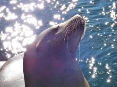 Teun - sea lion at the Marine Science Center