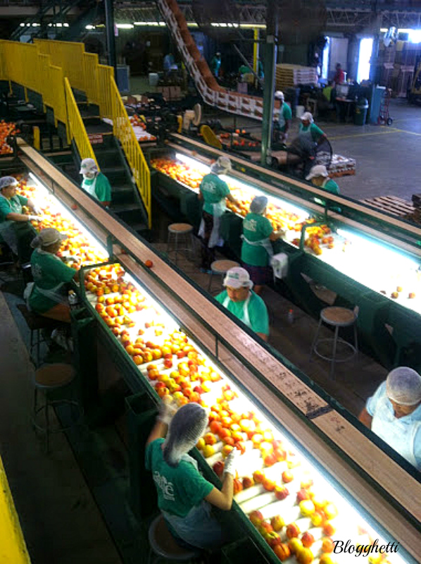 Lane Packing Plant peach inspection line