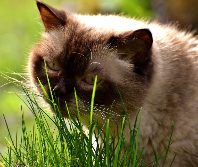 Why does your cat eat grass? Understand your cat's behavior