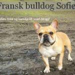 Fransk bulldog Sophie