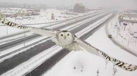 Avistan a Hedwig en cámara de tráfico en Montreal