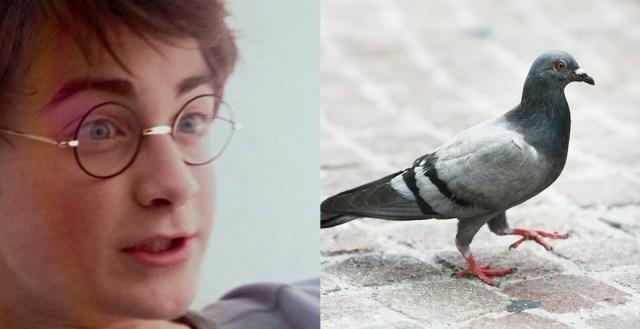 harry-potter-pigeon