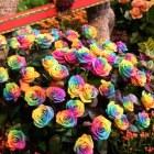 rosas_coloridas (7)