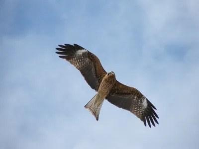 近所の猛禽類 - 鳥が飛行機が飛んでるよブログ