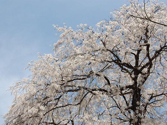 桜の花びら散るたびに~♪ - Mein kleiner Rosengarten