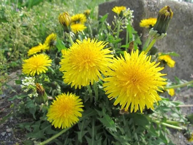 タンポポの花の構造 - atakaの趣味悠久