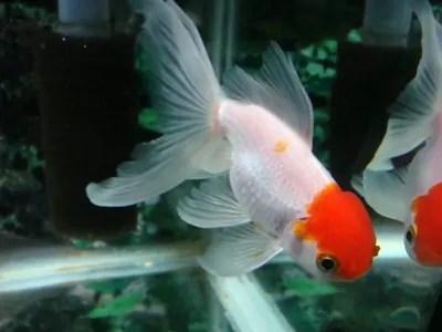 ヒレの白濁 - 金魚 IN 香港