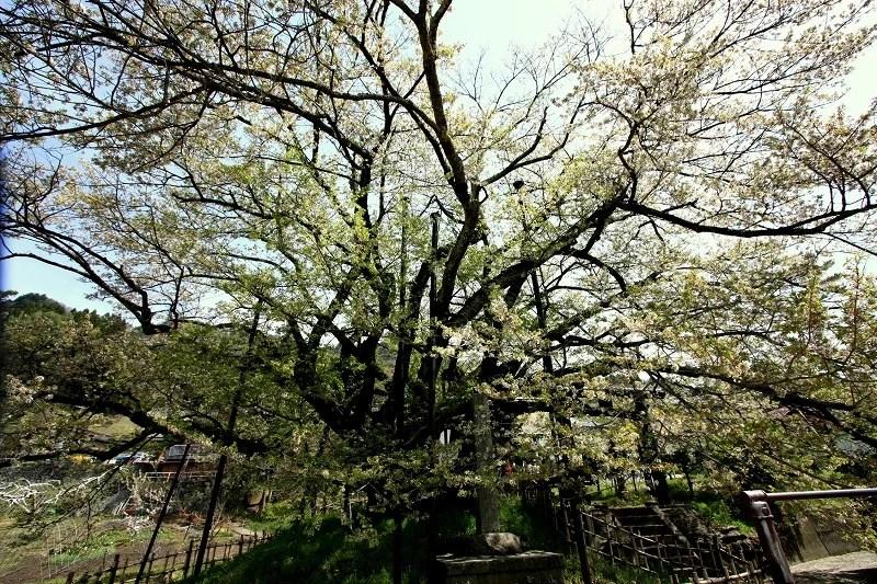 長野市泉平(いずみだいら) 素櫻神社(すざくら)の神代桜 ...