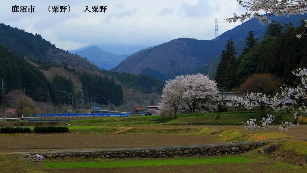 鹿沼市(粟野) 入粟野桜のある風景 以前の畫像 - 栃木の木々