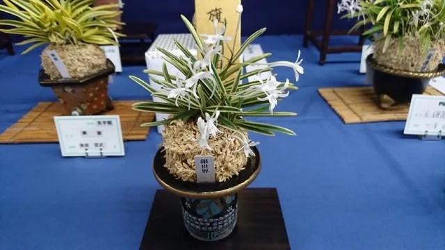 第13回彩と香の富貴蘭展示即売會(上野) - The Breeze Orchid 〈風蘭道〉
