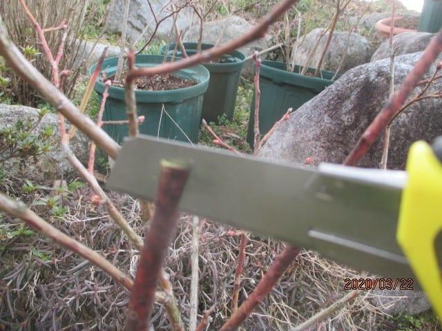 1鉢で収穫出來る・2色ベリー - 菌で育てるブルーベリー
