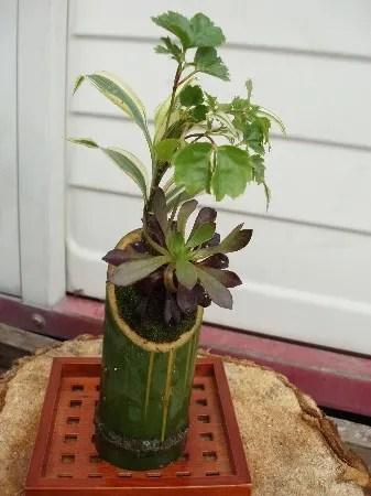 竹に植える ( 観葉植物の盆栽 ) - yokonohananikki's blog
