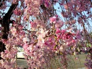 木之本 己高閣の桜 - 自然 旅 読書