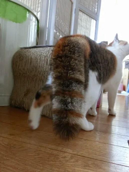 ぼわしっぽ - 猫猫--maomao