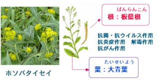 148)板藍根と大青葉の抗インフルエンザ作用 - 「漢方がん治療 ...