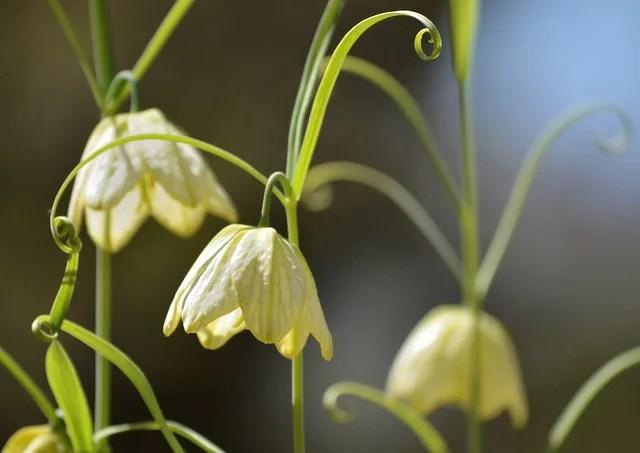 ラブリーバイモ 花 - 最高の花の畫像