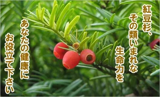 「紅豆杉粒、お茶紹介」のブログ記事一覧-漢方専門 河合薬局 健康ブログ