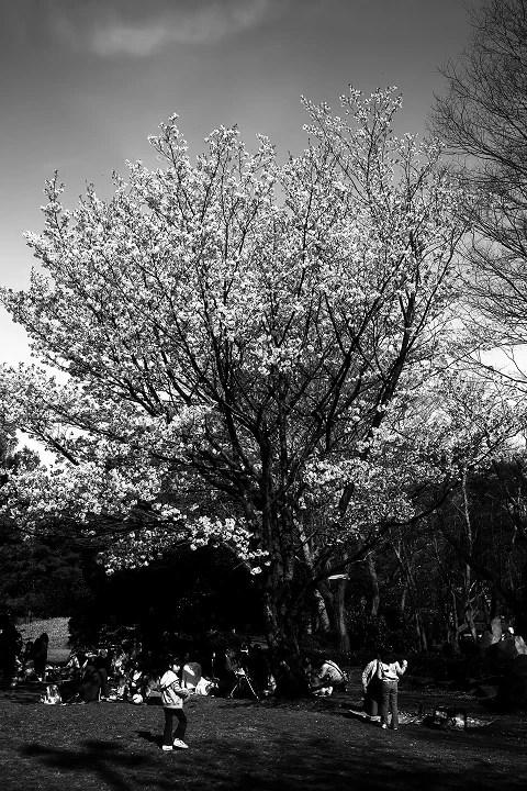 モノクロで桜を撮る~♪ - アイドリング・カフェ by 月光花
