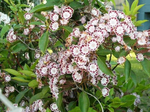 心に強く訴えるカルミアラティフォリア - 最高の花の畫像