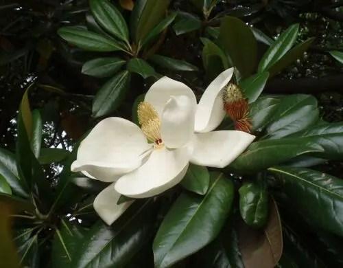 長居植物園9・夾竹桃~「マグノリア園(大山木)」 - 美味しい遊病生活。命はいのち。