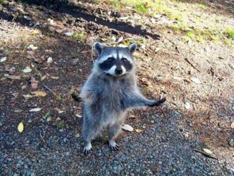 "Raccoon: ""Why do you always blame me?!"""