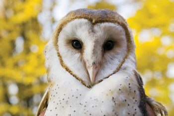 Barn Owls have sweetheart faces! Photo: Pittsburghzoo.com