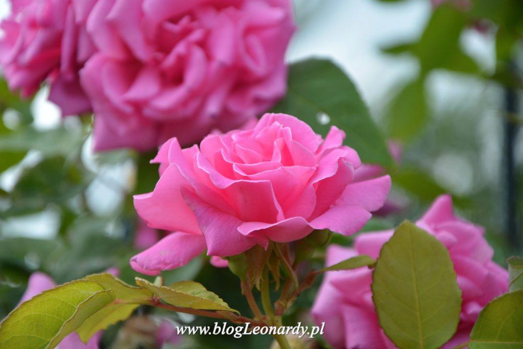 Zephirine Drouhin piękna, bezkolcowa róża dla każdego