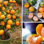 Többé soha nem fogsz mandarint venni! Ültesd el egy virágcserépbe és akár több százat szüretelhetsz majd!