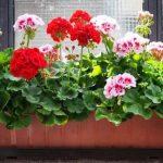 Egy remek ötlet, amitől a muskátlin szebb és nagyobb virágok teremnek! Többé te sem dobod ki ezt az értékes anyagot!