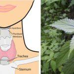 7 gyógynövény pajzsmirigy problémákra!