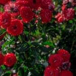 Visszavágtam, így takartam le: az én rózsáim hozzák jövőre a legcsodálatosabb virágokat