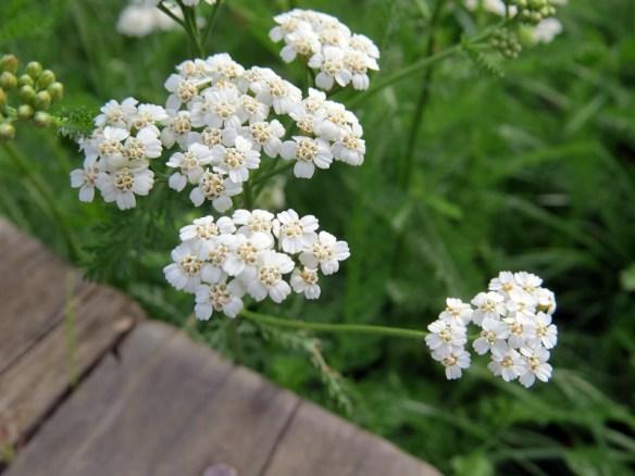 cvjetoviimost
