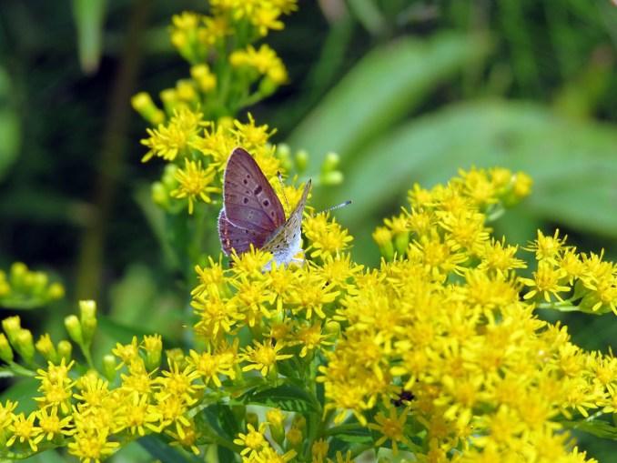 leptirnacvijetu