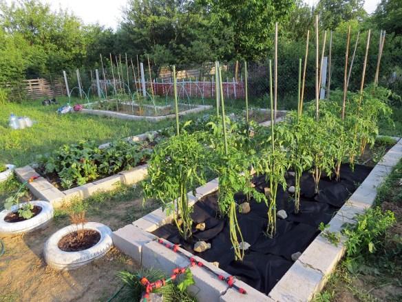 paradajzraste